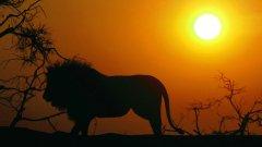 В цяла Африка са останали 21 000 лъва, а в САЩ продават сандвичи с лъвско месо в чест на Световното...