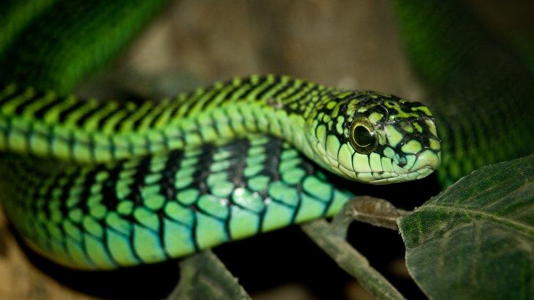 Бумсланг  Позната е и като южноафриканска дървесна змия. През 1957 г. ученият Карл Питърсън Шмид опитал да докаже, че всъщност ухапване бумсланг не е смъртоносно. Така той се оставил змията да го ухапе и започнал да записва симптомите си. Буквално до последния си миг няколко часа по-късно. Когато бил попитан дали иска медицинска помощ, отказал с аргумента, че това би попречило на проучването. При аутопсията на Шмид се оказало, че той е умрял от безброй вътрешни кръвоизливи в сърце, бели дробове, бъбреци, очи и мозък.  Фаталният експеримент реално доказал колко смъртоносна може да бъде тази змия. Тя обаче може да бъде и не по-малко красива, като най-често яркозелена, но може да е на ивици, синкаво-зеленикава, маслинена, жълто-кафява, даже и чисто черна.