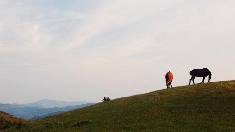 Полудиви коне пасат трева в края на горещия ден