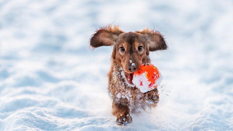 Мит номер 4: Кучешките екскременти се разграждат в снега Нали знаете какво става по улиците, когато снегът започне да се топи? Изпод него изникват не само кокичета. Фекалиите не се разграждат в снега. Напротив, студът всъщност забавя процеса на разграждане и напролет осъмваме с минирани тротоари. Затова, моля ви, почиствайте след кучето си, дори навън да има 2 метра сняг.