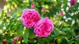 Пътешествие с аромат на рози