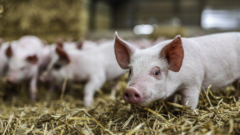 Африканската чума обаче може да разтърси сериозно производителите на месо