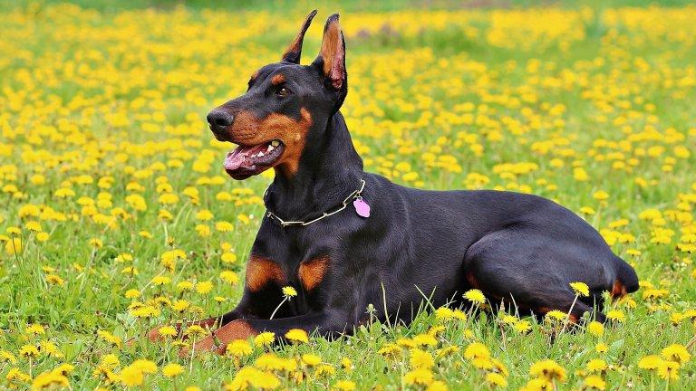 """Доберман Времето на доберманите в България бяха 90-те. Тогава тези кучета, натоварени с лоша слава, се срещаха доста често, но днес те по-скоро са рядкост. Доберманите са създадени от Фридрих Луис Доберман в Германия и са """"замислени"""" да бъдат телохранители на своите стопани. Те са интелигентни: намират се в първа група на пета позиция по интелигентност. Това значи, че за заучаване на дадена команда са необходими по-малко от пет повторения. Доберманите са овладяни и сдържани кучета, но ако някой застрашава техния човек, няма да се поколебаят да му навредят ефикасно."""