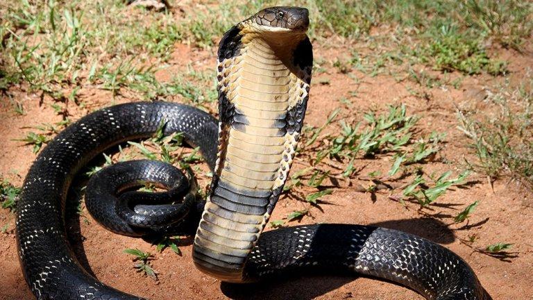 """Кралска кобра  Най-голямата отровна змия на света, която може да достигне до цели 5,5 м дължина. Освен това има и забележително зрение и би могла да ви забележи съвсем ясно от повече от 100 метра разстояние. Когато е застрешена, кралската кобра използва специални мускули, за да разгъне специфичната """"качулка"""" около главата си. Бърза е, може да плува и също така да достига до върховете на дърветата, така че, ако реши да ви гони, няма да ви бъде лесно да се измъкнете.   Проблемът с нейната отрова не е толкова в това, че е силна, колкото в количеството, което инжектира в жертвите си. Всяко ухапване може да вкара в тялото ви до 7 мл, а тя обикновено атакува по 3-4 пъти. Доказано е обаче, че дори само едно ухапване може да доведе до смърт в рамките на 15 минути."""