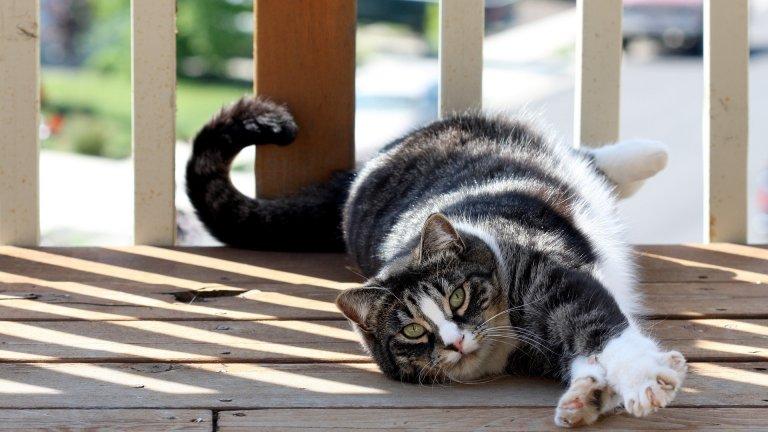 Американската късокосместа котка е популярна сред семейства с малки деца, тъй като е много дружелюбна и гальовна. Тези котки обикновено умеят да се забавляват сами и нямат нужда от особено внимание, но ако искате да си играете с тях, с радост ще откликнат. Обикновено са здрави, но е желателно да ходят редовно на ветеринарен лекар за преглед на сърцето. Живеят между 15 и 20 години.