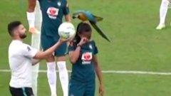 Гигантски папагал кацна на главата на бразилска националка по време на тренировка (видео)
