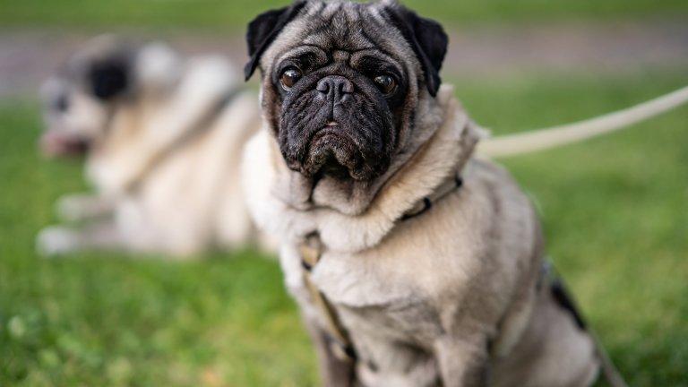 """Мопс Това сладко същество, което е в челните редици на кучешките инфлуенсъри, е пренесено като порода от Китай в Европа още през 16 век. Тази порода често се описва с латинската фраза multum in parvo, или """"много в малко"""", което е знак за очарователния характер на мопса. Това са кучета с много сериозна воля, които обаче много обичат да се гушкат и да бъдат част от семейството. Козината им е къса, гладка и не се скубе много. Трябва да знаете обаче, че мопсовете са склонни към различни заболявания и посещението при ветеринарния лекар може да не е особена рядкост, ако имате такова куче."""