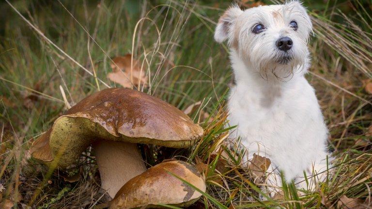 Пазете го от гъбитеГъбите никнат активно през есента заради влажното време и може и да изглеждат симпатични, но дръжте кучето си далеч от тях. Ако разхождате любимеца си на места, където растат много гъби, уверете се, че той не ги доближава, защото някои видове могат да се окажат смъртоносни за него. Сред признаците на натравяне пък са треска и обилно повръщане, така че внимавайте за тези симптоми.