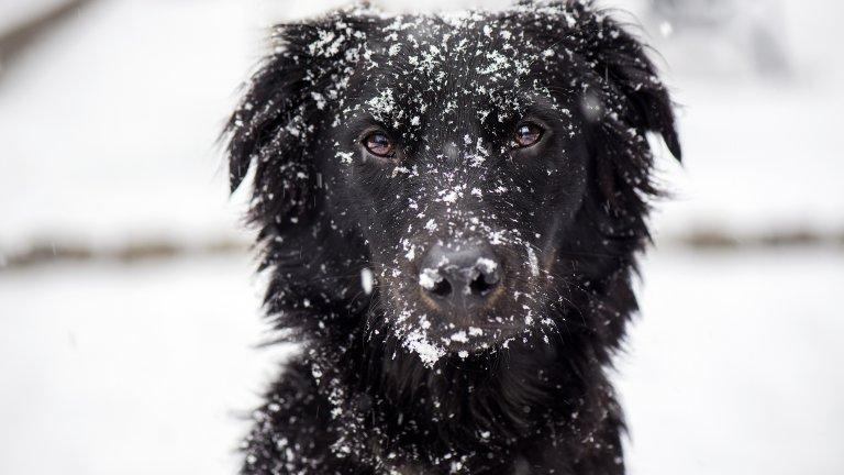 Мит номер 7: Кучетата могат сами да се отърват от снега по козината си След разходка е добре да избършете снега от кучето с кърпа, да измиете лапите му с топла вода и да махнете снежните топчета, които са се оплели по краката и корема му. В противен случай, кучето вероятно само ще оближе снега, но това може да увреди кожата му, която и без това е изсушена от сухото време.