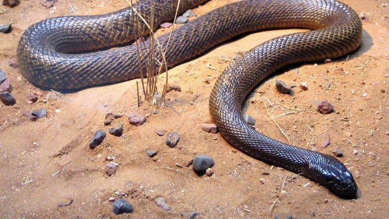 Континентален тайпан  За разлика от своя братовчед по крайбрежието континенталният тайпан е доста по-срамежлив и предпочита да живее в изолираните области във вътрешността на Австралия, далеч от хора. За сметка на това обаче е много по-опасен и специализиран в лова на бозайници, а отровата му е адаптирана само за тях - ужасяваща комбинация от токсини, които причиняват едновременно задушаване и вътрешни кръвоизливи.   В случай на опасност обаче континенталният тайпан би предпочел да избяга и да се скрие. Ако реши да атакува обаче, шансовете на жертвата му са минимални, тъй като е изключително бърз и точен в ухапванията си.