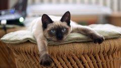 Сиамските котки бяха много модерни през 90-те, а сега сякаш се срещат доста по-рядко в българските домове. А всъщност това са приятни, изключително красиви котки, които често живеят минимум 15 години, а понякога дори и 20. Тези котки са много игриви дори и като остареят, но са известни и със силното си мяукане, с което привличат вниманието към себе си. Това са взискателни животни, които имат нужда от вниманието на стопаните си и не е добра идея да ги оставите да скучаят.