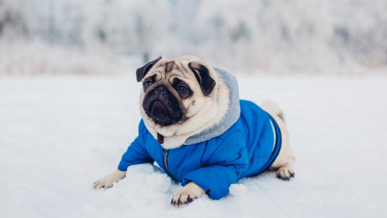 Мит номер 6: Кучетата нямат нужда от защита на лапите, когато излизат в снегаЛедът и снегът могат да са болезнено студени за кучешките лапи. Още повече, солта за разчистване на снега, може да създаде реакция, която да причини изгаряне на лапите. И още: кучетата могат да абсорбират антифриз и други химикалки през лапите си. Затова обмислете да слагате чорапи на кучето си.