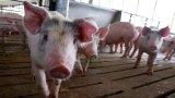 """Откриха нов """"свински грип"""" в Китай с потенциал да се превърне в пандемия"""