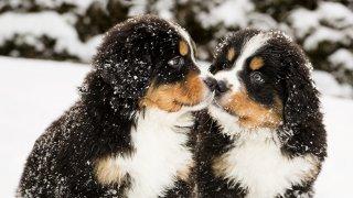 Мит номер 1: Козината предпазва кучетата от снега  Очевидно някои кучета са по-устойчиви на студ от други. Сибирското хъски със сигурност се чувства по-комфортно на -10 градуса, отколкото което и да е чихуахуа. Само че наличието на козина не предпазва кучето от хипотермия при екстремно ниски температури. Ако кучето ви има по-тънка или по-къса козина или навън е наистина много студено, е желателно да го облечете. Зоомагазините продават достатъчно разнообразен набор на видове и размери якета и пуловери.