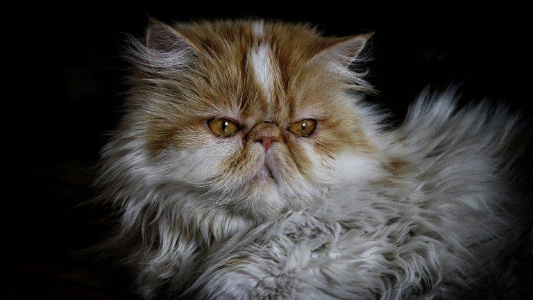 Персийските котки са абсолютни рекордьори в дълголетието. Ако се гледат добре, те често достигат 20 години и нагоре. Персийките са спокойни, любвеобилни, изпълнени с доверие към хората. Обикновено си избират един от членовете на семейството и го боготворят. Обичат тишината и галенето.