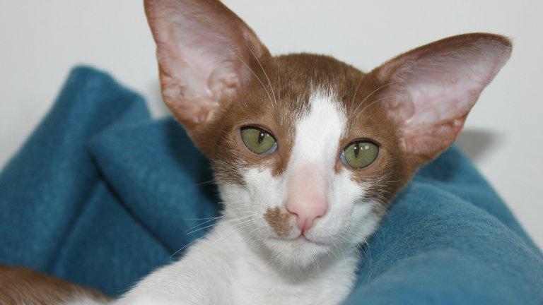 Това причудливо създание е ориенталска късокосместа котка. Ако искате котка, която да водите на каишка, това е вашият избор. В действителност, това е сиамска котка, чиято козина обаче има различен оттенък и зелени очи. Това са умни и любознателни котаци, които общуват активно със стопаните си. Те обаче не обичат да са сами, затова ако отсъствате често, помислете дали да не си вземете ДВЕ такива котки. Живеят между 10 и 15 години.
