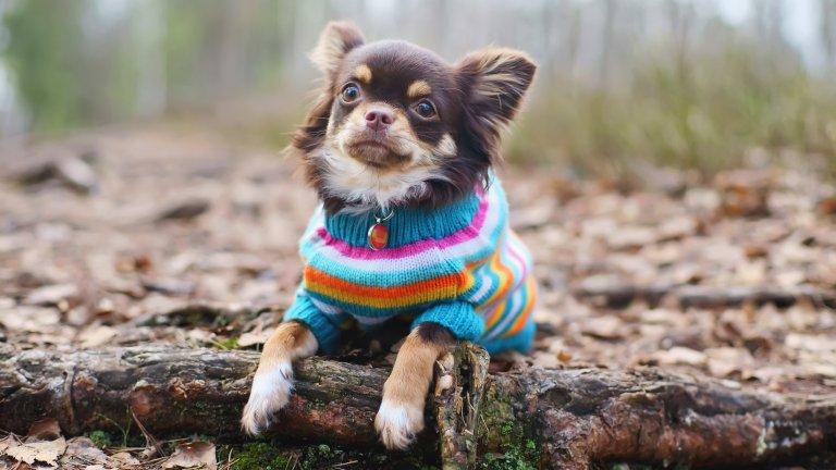 Не пренебрегвайте дрехите за кучетаЗа мнозина дрехите за кучета изглеждат твърде помпозно и ги намират за излишни, което е груба грешка. Ако сте притежател на малка порода куче или на късокосместо куче, снабдете го с дрешка, която да го предпазва по време на разходките във все по-студените сутрини и вечери. На пазара вече има достатъчен избор от дрехи за кучета на съвсем достъпни цени, но винаги можете да развихрите въображението и сръчността си у дома.