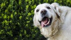 Голдън ретривър За първи път видяхме голдън ретривърите като част от перфектното американско семейство, което тича около децата на огромна поляна пред къщата. Оказа се, че американците неслучайно обичат тази порода толкова много. Ретривърите са обичащи и топли кучета с големи сърца. Те са чудесен избор за терапевтични кучета, а ако детето ви опява за куче, това е един от добрите избори. Игриви и протективни, но без да са злобни, ретривърите винаги са били на мода и не изглежда като скоро да излязат от нея.
