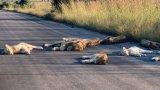 Дивата природа и пандемията: Лъвовете в Южна Африка се радват на живот без туристи