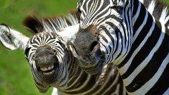 Зебрите се срещат само в Африка