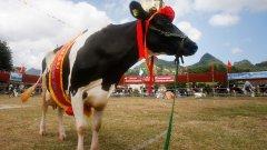 Свещена крава. Всички знаем какъв е статутът на кравите в Индия. Както и на крикета - любимият национален спорт. Отбор от Мумбай реши да направи любопитно съчетание - в загрявката редом с играчите неизменно участва петнистото добиче Шарма, което е и клубен талисман.
