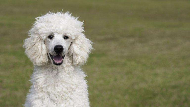 Пудел Пуделите никога не излизат от мода. Те са изключително интелигентни животни, които неслучайно са били дресирали за циркови кучета и са били любимци на аристокрацията. Пуделите идват в няколко размера: има мини пудели, има и кралски пудели, които са доста едри. Така че може да притежавате умно куче с префърцунен, фенси вид, независимо дали си падате по дребни кученца или по едри екземпляри.