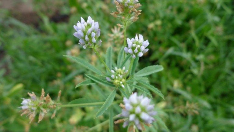"""3. Сминдух (Чемен, Trigonella foenum-graecum)  Сминдухът спомага за увеличаване на тестостерона в допълнение и с други ползи за здравето. Билката също повишава либидото и освобождаването на инсулин. Сминдухът се използва и като част от известната българска подправка """"Шарена сол""""."""