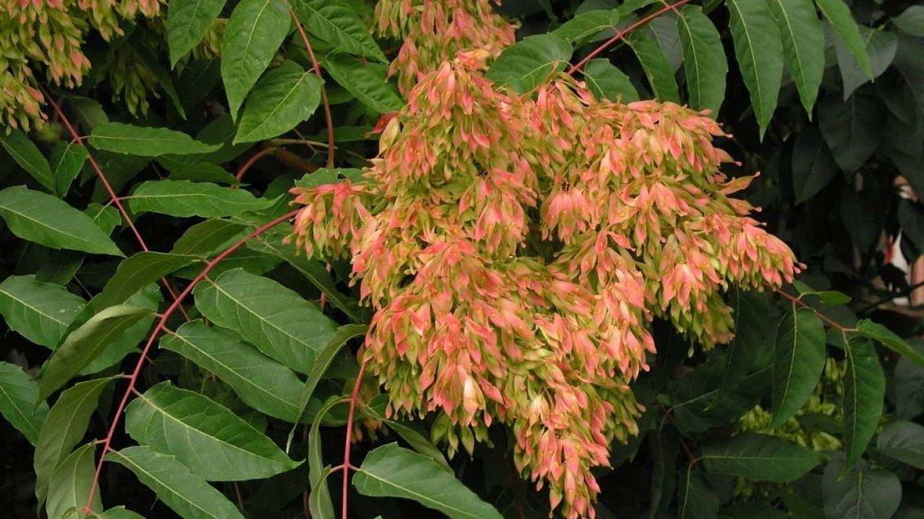 Айлант, див орех (Ailanthus altissima)