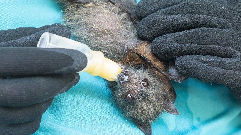 Ловците на прилепи, които се опитват да предскажат следващата пандемия