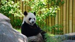 """Как Китай успя да опази от изчезване този рядък животински вид, който само преди 7 години беше """"отписван"""" от експертите?"""