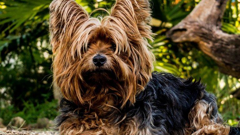 """Йоркширски териер Йоркширският териер е квинтесенцията на т.нар. """"куче за чанта"""" и абсолютен любимец на феновете на дребните породи. Тези кучета рядко докосват земята и обикновено ходят с панделки и кукуригу.  Не се заблуждавайте обаче. Това не са кифленски кучета. Йоркитата са чудесни пазачи и сигнализират с истеричен лай при всеки потенциален натрапник, който може да наближи дома ви."""