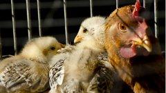 Здравното министерство с препоръки заради зачестили случаи на птичи грип