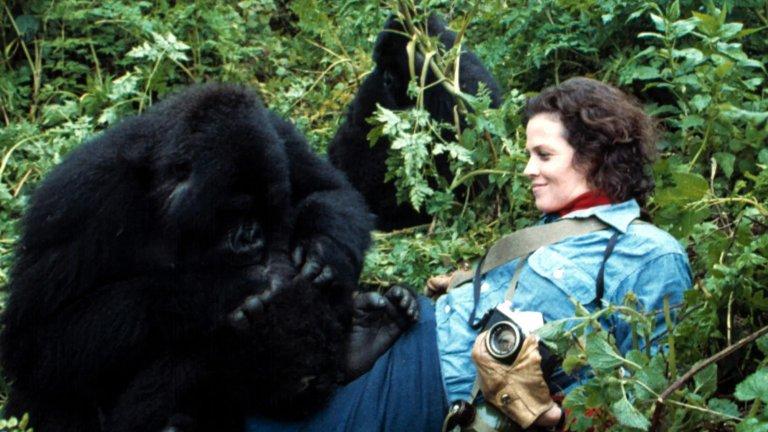 """""""Горили в мъглата"""" със Сигорни Уийвър е разказа за Даян Фоси, която заминава за Конго съвсем сама, за да изучава навиците на горилите (които по това време са изчезващ вид) за National Geographic. Филмът е вдъхновяващ и акцентира върху силата на волята. Самата Даян Фоси е убита през 1985г., като убийството й най-вероятно е свързано именно с работата й на приматолог и с каузата й да опази горилите. През 2017г. National Geographic пуснаха мини сериал за нея, но """"Горили в мъглата"""" си остава любима класика."""