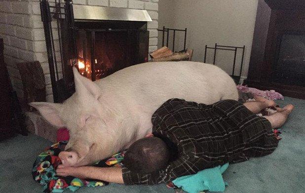 Но да гледаш свиня, не е за всеки...
