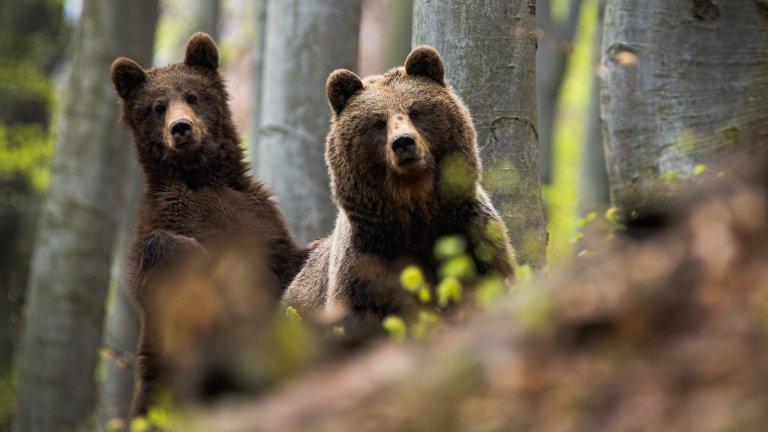 В кой точно момент от срещата с мечка да се правим на умрели