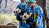 В зоопарка в Ноймюнстер, Северна Германия, някои животни скоро може да станат храна за други, за да оцелее зоологическата градина. А това, че в зоопарка в Берлин има две очарователни близначета панди, не спасява финансовото положение, тъй като онлайн излъчването не носи приходи.