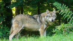 Оказва се, че в Европа, включително и у нас, бракониерството по време на блокадата е нанесло сериозни щети на застрашени видове