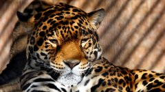 Биолози от Обществото за защита на дивите животни използват аромат на Келвин Клайн, за да привлекат ягуарите...