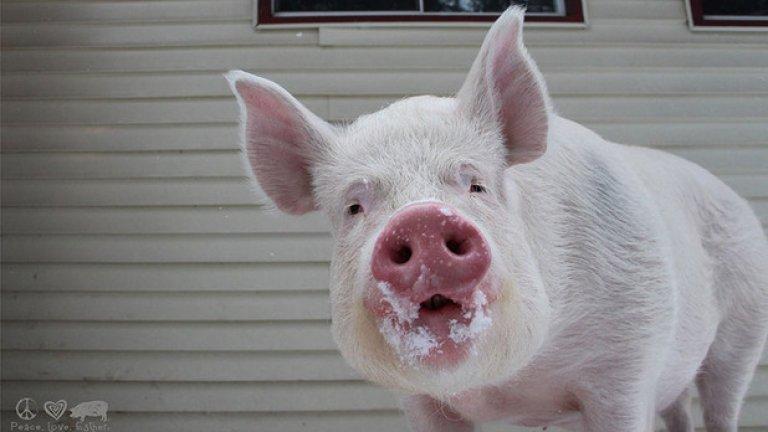 Защото, за разлика от много други прасета, на нея й предстоят още много Коледи