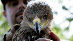 """""""Задругата на орела""""   Проектът на Българското дружество за защита на птиците работи в две основни направления: развитие на групите на пазителите чрез въвличането им в преки природозащитни дейности и повишаване на обществената подкрепа за Царския орел чрез насърчаване на устойчив местен поминък, проучване храната на вида, развитие на еко туризма."""