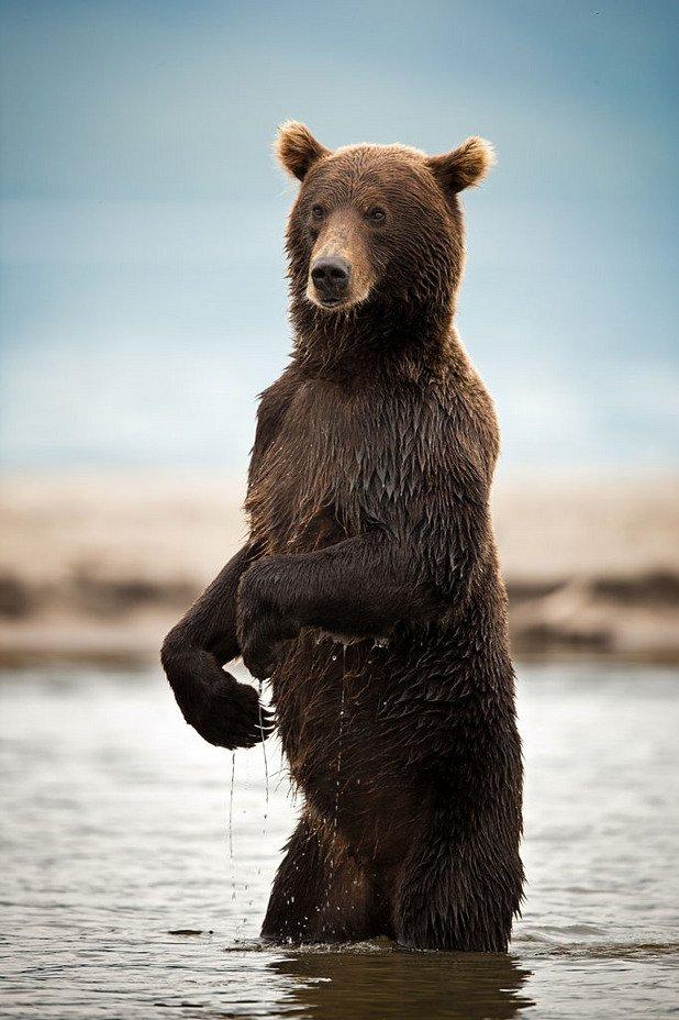 Мечките са опасни не само когато пазят малките си. Често се случва човек да блъсне животно на пътя, но да блъснеш мечка... Това не е чак толкова често срещан случай. Е, за жалост, това е съдбата на двамата канадци, които по нещастно стечение на обстоятелствата попадат зад камион, който блъска мечка на пътя. Тя полита и се врязва в колата им като ги убива на място... Нелепо, наистина.