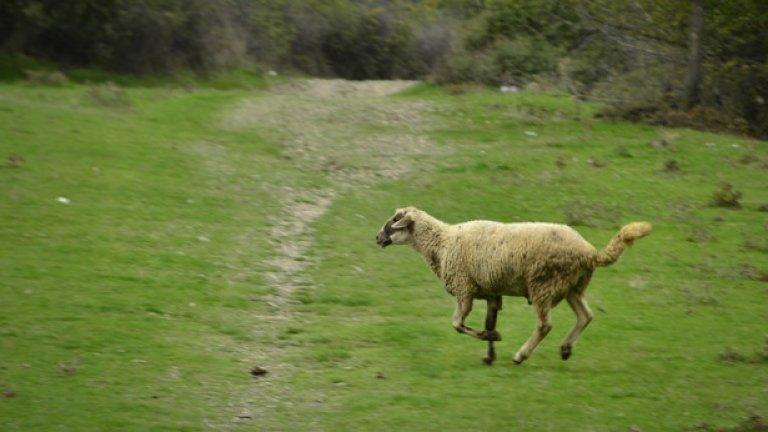 Заблудена овца, изостанала от стадото си, препуска сред зеленината от другата страна на язовира