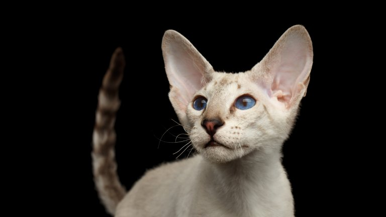 Петерболд е руска порода котки с уникална външност. Те приличат малко на ориенталската късокосместа котка, но тези са почти безкосмести. Петерболдите, родени с козина, често я губят докато пораснат. Тези котки са любвеобилни и се привързват много към стопаните си.