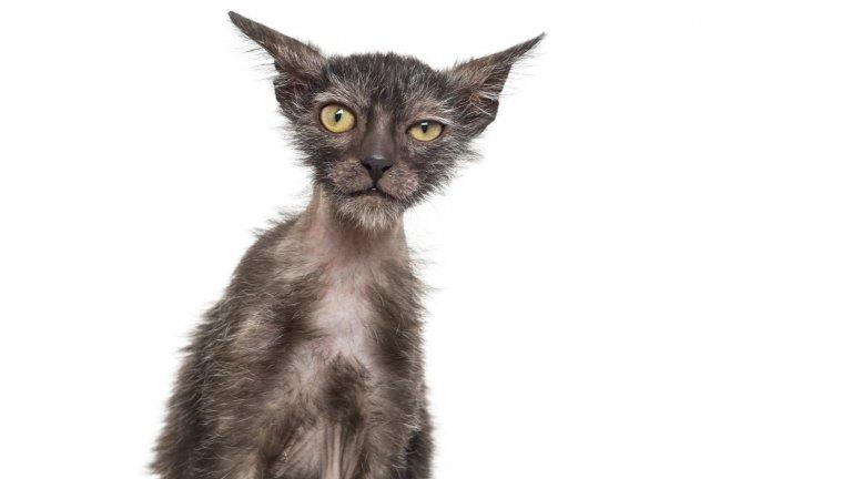 Ликой е върколакът в котешкия свят и по външния му вид става ясно защо. Тази котка изглежда като резултат от тъмен научен експеримент, но всъщност козината й се е получила като естествена генетична мутация от кръстосването на домашни котки. Това са приятелски настроени котки, които стават прелестни компаньони.
