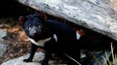 """Тасманийският дявол има черна козина с бяла """"якичка"""" около врата"""
