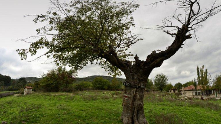 Върху полуизсъхнало старо дърво са окачени нови туристически табелки, насочващи към маршрути за пешеходци и колоездачи