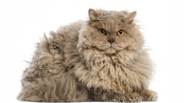 Да, Селкърк Рекс е къдрава котка. Има късокосмести и дългокосмести, но във всички случаи имат букли и къдрици. Произхождат от Монтана (щата, не северозападния град). Родословието на всички котки от породата Селкърк Рекс може да бъде проследено до котката, наречена Мис Де Песто. Селекционерът на котки Джери Нюман кръщава породата на нейния втори баща, който се казва Селкърк. Това я прави първата (и за момента) порода котки, кръстена на човек.
