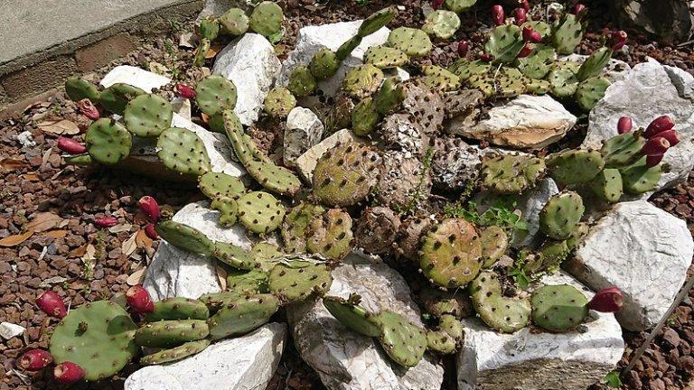 Обикновен кактус, опунция (Opuntia humifusa)