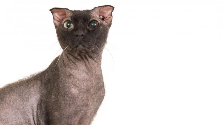 Украинският левкой се отличава с липса на козина и клепнали уши. Историята на тази порода започва през 2000-та година, когато украинската селекционерка и фелиноложка Елена Бирюкова решава да създаде нова порода котки, която да се различава от всички останали. Тя кръстосва различни породи котки, които са без козина, и сред тях са Донски Сфинкс и Петерболд. Тъй като целта на селекционерката е да стигне до порода с клепнали връхчета на ушите, тя включва в кръстоските и шотландска клепоуха котка. Наименованието Левкой новата порода получава заради формата на ушите си, които приличат на цвете, растящо в Украйна.