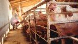 Според земеделския министър Десислава Танева огнищата на африканска чума вече намаляват